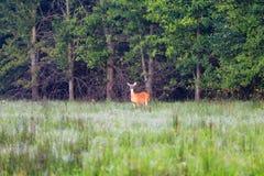 白被盯梢的鹿,母鹿,在秃头瘤边缘的一个树木繁茂的部分 库存图片