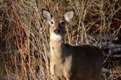 白被盯梢的鹿-安大略,加拿大 免版税库存图片