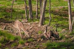 白被盯梢的鹿(空齿鹿属virginianus)和加拿大鹅(胸罩 免版税库存照片