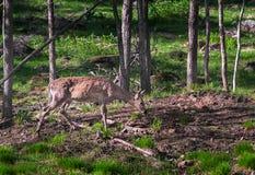 白被盯梢的鹿(空齿鹿属virginianus)在伍迪地区吃草 图库摄影