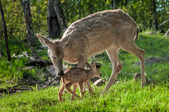 白被盯梢的鹿(空齿鹿属virginianus)招呼她的小鹿 免版税库存图片