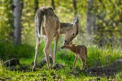 白被盯梢的鹿(空齿鹿属virginianus)舔她的小鹿 图库摄影