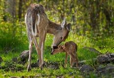 白被盯梢的鹿(空齿鹿属virginianus)舔她的小鹿 免版税库存图片