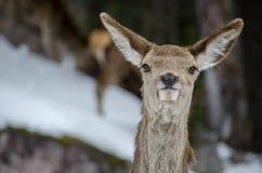 白被盯梢的鹿 库存图片