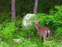 白被盯梢的鹿 库存照片