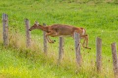 白被盯梢的鹿 免版税库存图片