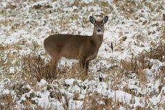 白被盯梢的鹿 图库摄影