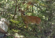白被盯梢的鹿 免版税库存照片