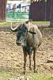 白被盯梢的gnue羚羊 库存图片