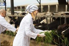 白褂子技术员有同情心的母牛的专业工作者在母牛 库存照片