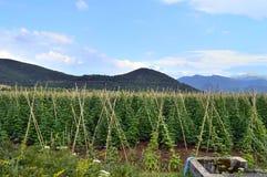白豆的领域在Prespes,希腊 图库摄影