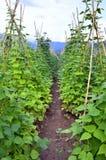 白豆的领域在Prespes,希腊 库存照片
