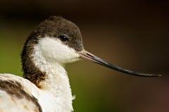 黑白趟水者鸟染色长嘴上弯的长脚鸟, Recurvirostra avosetta,鸟画象与弯曲的票据, Camargue,法国的 库存图片