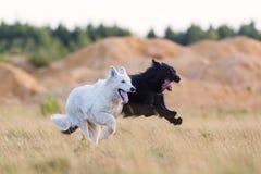 白跑在草甸的德国牧羊犬和一条杂种狗 免版税图库摄影