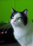 黑白雄猫 免版税库存照片
