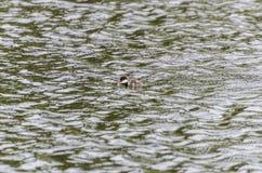 白颊鸭鸭子游泳在池塘 免版税库存照片
