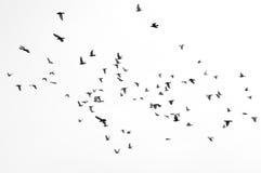黑白飞行的小组的鸟 免版税图库摄影