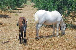 白马和一只幼小驹 免版税库存图片