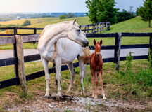 白马和她的马驹 免版税库存照片