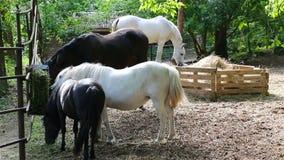 黑白马和小马在仓库广场被喂养 影视素材