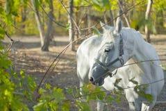 白马在树中走 免版税库存图片