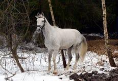 白马在莫斯科附近的一个森林里 免版税库存照片
