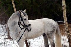 白马在莫斯科附近的一个森林里 库存照片