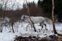 白马在莫斯科附近的一个森林里 库存图片