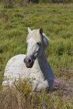 白马在Camargue,法国 库存图片