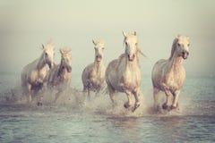 白马奔跑疾驰在日落的水, Camargue, Bouches du罗讷,法国中 库存图片