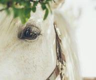 白马的眼睛 库存图片