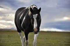 黑白马走 免版税库存照片