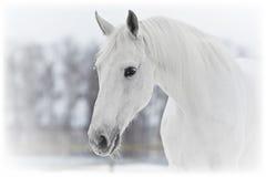 白马画象在冬天 免版税库存照片
