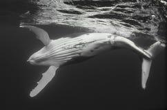 黑白驼背鲸的小牛 免版税库存照片