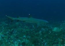 白鳍鲨 免版税图库摄影