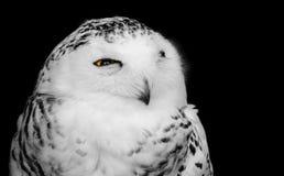 黑白鸷一头多雪的猫头鹰的画象与开放一只黄色的眼睛的,被隔绝反对黑暗的背景 图库摄影