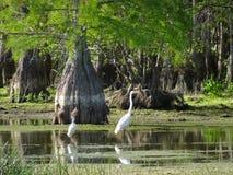 白鹭和朱鹭在柏沼泽 免版税库存照片