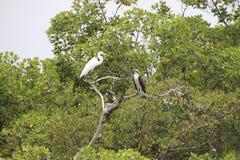 白鹭和白鹭的羽毛 库存图片