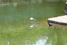 白鹭和鸽子 图库摄影
