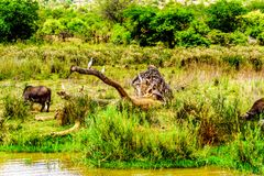 白鹭围拢的水牛吃草在Olifants河的河岸在克留格尔国家公园 库存图片