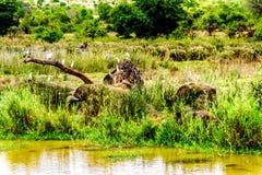 白鹭围拢的水牛吃草在Olifants河的河岸在克留格尔国家公园 免版税库存图片