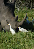 白鹭在一块犀牛垫铁附近啄在非洲 库存照片