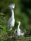 白鹭在佛罗里达 免版税库存图片