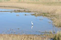 白鹭在沼泽地栖所 免版税库存照片