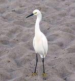 白鹭在海滩的白鹭属thula 免版税库存照片