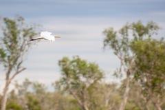 白鹭在飞行中在Corroboree Billabong在北方领土,澳大利亚 免版税图库摄影