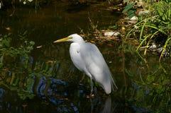 白鹭在水中 免版税库存照片