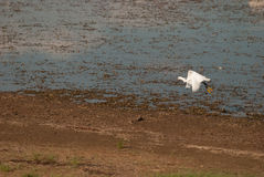 白鹭在Pilanesberg 库存图片