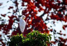 白鹭坐的树顶面红色背景 免版税库存照片