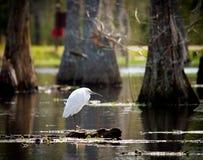 白鹭多雪的沼泽 库存照片